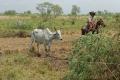 Capture pour ramener cette mère auprès de son nouveau-né. Les vaches dissimulent leur jeune pendant les premiers jours pour le mettre à l'abri des prédateurs