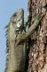 Iguane à côté de notre bivouac. Les iguanes grimpent aux arbres pour se nourrir des oeufs des oiseaux