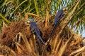 Les Aras hyacinthe adorent dévorer les fruits des palmiers