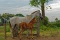 Une quinzaine de chevaux vivent à la fazenda. Les gauchos changent de monture l'après-midi