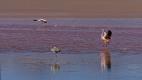 Envol du matin à la Laguna Colorada