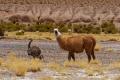 Nandu et Lama