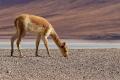 Vigogne à la Laguna Blanca à la sortie de la Reserva Nacional de Fauna Andina Eduardo Avaroa : que mange-t-elle ?
