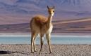 Vigogne à la Laguna Blanca à la sortie de la Reserva Nacional de Fauna Andina Eduardo Avaroa