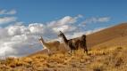 Lamas rencontrés sur la piste entre Tupiza et San Vicente