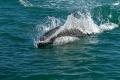 Ce Dauphin austral accompagne notre bateau,  Isla Pingüino (Argentine)
