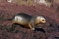 Jeune Lionne de mer, îlots près de l'Isla Pingüino (Argentine)
