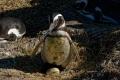 Oeuf de Manchot de Magellan, Isla Pingüino (Argentine)
