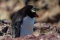 Gorfou sauteur enrhumé ,  Isla Pingüino (Argentine)
