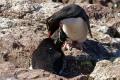 Papouilles  de  Gorfous sauteurs ,  Isla Pingüino (Argentine)