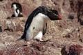 Gorfou sauteur à l'esprit frondeur, Isla Pingüino (Argentine)