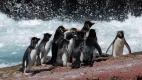 Ces Gorfous sauteurs hésitent pour aller à la mer, un Lion de mer rode, Isla Pingüino (Argentine)