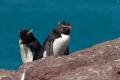Gorfous sauteurs, Isla Pingüino (Argentine)