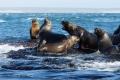 Rivalité entre Lions de mer près de Isla Pingüino (Argentine)