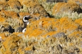 Manchot de Magellan, Isla Pingüino (Argentine)