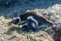 Manchot de Magellan et ses deux poussins, Isla Pingüino (Argentine)