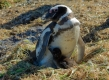 Manchot de Magellan et son poussin, Isla Pingüino (Argentine)