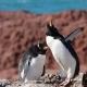 Madame couve et monsieur monte la garde, Gorfous sauteurs ,  Isla Pingüino (Argentine)