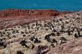 Gorfous sauteurs ,  Isla Pingüino (Argentine)