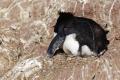 La femelle Gorfou sauteur pond 2 oeufs, mais un seul donnera naissance à un poussin. Le deuxième sert de secours !  Isla Pingüino (Argentine)