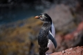 Sortie de bain, Gorfou sauteur,  Isla Pingüino (Argentine)