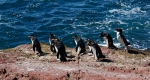 Départ groupé pour le bain,  Gorfous sauteurs ,  Isla Pingüino (Argentine)