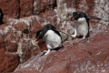 Allez on y va !  Gorfous sauteurs ,  Isla Pingüino (Argentine)