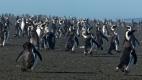 Retour de pèche de Manchots de Magellan, Cabo Virgines (Argentine)