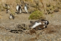 Nourrissage de jeunes Manchots de Magellan voraces, Cabo Virgines (Argentine)