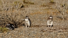 Pinchones de Manchots de Magellan, Cabo Virgines (Argentine)