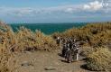 Départ groupé pour la pêche , Manchots de Magellan, Cabo Virgines (Argentine)