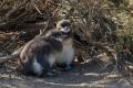 Petits restés seuls au nid,  Manchots de Magellan, Cabo Virgines (Argentine)