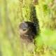 Martinet à tête grise au Salto d'Arthur Núñez, des brins de mousse dans le bec pour consolider son nid