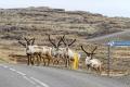 Des rennes traversent la route