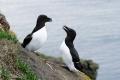 Deux pingouins torda