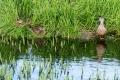 Quatre canards pilets