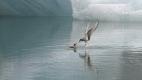 La maman sterne arctique nourrit son poussin