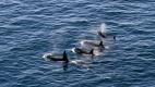 Quatre orques nagent dans la mer