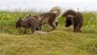Trois renardeaux polaires rentrent au terrier