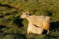 L'agneau tête la brebis