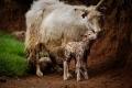 La brebis câline son agneau qui vient de naître