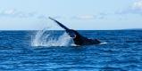 La baleine frappe la mer avec sa queue
