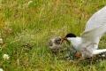 Une maman sterne arctique donnent du poisson à son poussin