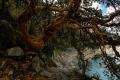 Queña à la Laguna Parón (4200 m). Cet arbre, au tronc tordu, présente une écorce rouille qui s'effeuille en papier de soie. Il pousse entre 3900 m et 5000 m d'altitude tout au long de la Cordillère des Andes