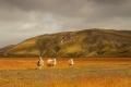 Incontournable trio islandais de moutons sur la piste F225 menant au Landmannalaugar