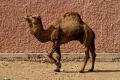 Marché au chameau de Guelmin