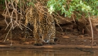 Première apparition d'un jaguar mâle