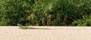l'iguane vert peut atteindre 1m50.  C'est le plus grand des iguanes