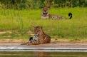 Jaguars femelles : la mère et la fille