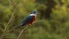 Martin pêcheur à ventre roux  du Pantanal